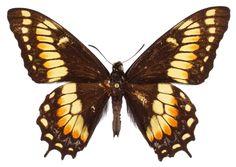 ButterflyCorner.net: Papilio hellanichus