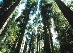 Redwoods (Sequoia sempervirens). Redwoods are both the tallest and one of the fastest-growing trees on the planet, but so far, no one can explain their ability to grow to such extraordinary heights.- Nature up close: Redwood magic