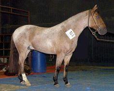 ARGENTINE CRIOLLO HORSE ~ Caballo Criollo ........... Original = (2806 x 2350) | Flickr - Photo Sharing!