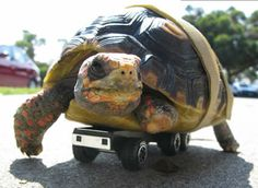 Tonka, the Turtle on Wheels lost mobility after its leg was bitten by a dog.so Peninsula Humane Society workers fitted the three-legged tortoise with a set of wheels Funny Animals, Cute Animals, Turtle Pond, Tortoise Turtle, Stop Animal Cruelty, Reptiles And Amphibians, Tortoises, Humane Society, Beautiful Creatures