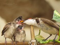 A Red Whiskered Bulbul Feeding its Chicks....