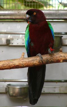 Red breasted parrots
