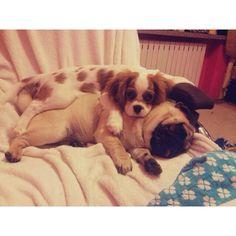 Dog love. Cavalier king charles spaniel & pug