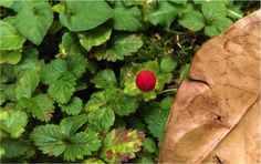 #WildStrawberry ;-)  #1P1W via http://www.1picture1word.com