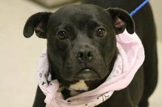 Greenville SC__ Moms with pups need rescue 8/17/2015 petrescue@greenvillecounty.org  Rescue ONLY  NAME: Kiera ANIMAL ID: 28614874 BREED: American Staffordshire SEX: Female EST. AGE: 3yr Est Weight: 36 lbs Health: heartworm pos **PREGNANT** Temperament: dog friendly, people friendly ADDITIONAL INFO:  RESCUE PULL FEE:$29 Intake date: 7/19 Available: Needs to leave the shelter by 8/20