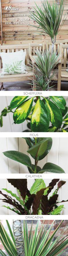 Our guide to foliage houseplants. Calathea, ficus, Schefflera and dracaena. Calathea, English Roses, Ficus, Houseplants, Plant Leaves, Home And Garden, Bulb, Advice, Gardening