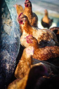 Raising meat chickens on the farm | The Elliott Homestead