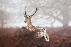A young fallow buck makes a quick retreat
