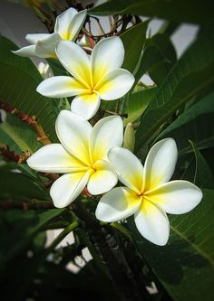 Plumeria - Frangiapani by Carlos Ribeiro Exotic Flowers, Tropical Flowers, Amazing Flowers, My Flower, Flower Pots, Beautiful Flowers, Plumeria Flowers, Hawaiian Flowers, Gerbera