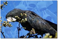 Another Picnik submission, layering a Red-Tailed Black Cockatoo from Townsville with gum-nuts from a Western Australian Silver Princess eucalypt. I'm Still Here, Kinds Of Birds, Cockatoo, Hd Backgrounds, Black People, Beautiful Birds, Bald Eagle, I Movie, Whale