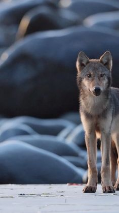"""Henrik Nilsson on Instagram: """"I put together this short movie of my favorite video from the wolf trip back in September. One scene includes all 7 pups running towards…"""""""