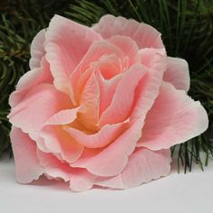 Vazbová růže Flowers, Plants, Plant, Royal Icing Flowers, Flower, Florals, Floral, Planets, Blossoms