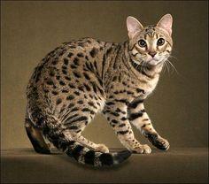 Croisement entre un chat domestique et un chat de Geoffroy, félin d'amérique du sud est