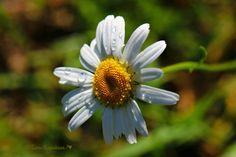 Daisy, päivänkakkara