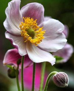 20 white anemone flower seeds perennial pinterest bulbs anemone by jacobis mightylinksfo