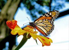 September Monarch. Photo by Nita wunderground.com