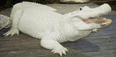 Gatorland, Orlando - Albino Alligator