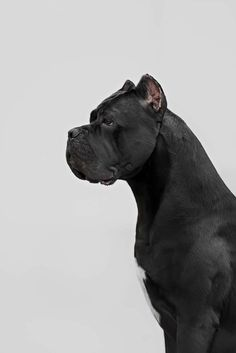 loose leash walking Picture is of a cane corso, not a breed I'm particularly fond of. Cane Corso Italian Mastiff, Cane Corso Mastiff, Cane Corso Dog, Big Dogs, Cute Dogs, Dogs And Puppies, Dogs Pitbull, Beautiful Dogs, Animals Beautiful