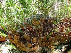 On a granite boulder in eucalypt woodland.