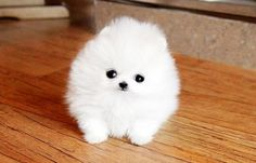 Why must there be arguing? | Tiny Pomeranians Are The Secret To World Peace