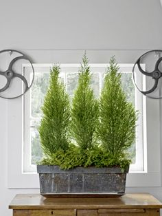 Monterey Cypress - Marketed as mini Christmas trees in December, Cupressus macrocarpa 'Goldcrest'   Bright idea: Give potted plants a lush appearance by underplanting them as you would outside. Here, Martin selected frosty fern (Selaginella kraussiana 'Variegata').    Read more: Indoor Plants - Indoor Gardening Ideas from Tovah Martin - Country Living