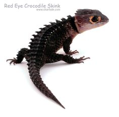 My Red Eye Crocodile Skink. I built a light box over the weekend to take some good photos of some of my reptiles. Cute Reptiles, Reptiles And Amphibians, Mammals, Red Eyed Crocodile Skink, Zoo Animals, Cute Animals, Snake Turtle, Beautiful Snakes, Red Eyes
