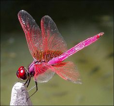 Image result for Crimson Dropwing Dragonfly