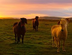 Infamous Icelandic Horse by Kevin McNeal