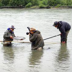 #steelheads in action @aosfishing  @skeenaspeyfishing #flyfishing #graz #steiermark #fliegenfischen #pescamosca #finatical #hatchpro #outdoors #nature #aosfishing #steelhead #photooftheday #fishingbuddies