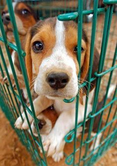 Pssst...if you take me with you I promise to be good. #Beagle