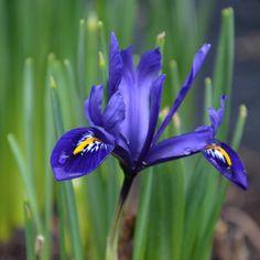 """Polubienia: 449, komentarze: 18 – Mette Fauerskov (@mettebfauerskov) na Instagramie: """"🌱Soft blue beautyfull Iris reticulata🌱Har noteret mig at jeg skal lægge MANGE nye våriris-løg til…"""""""