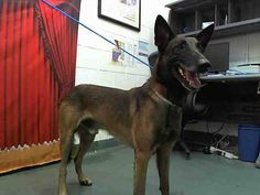 ROCKET (A1570822)I am a male brown and black Belgian Malinois.  The shelter staff think I am about 3 years old.  I was found as a stray and I may be available for adoption on 11/13/2013. —  at Miami Dade County Animal Services.  https://www.facebook.com/photo.php?fbid=666916410009432&set=a.200813439953067.53304.191859757515102&type=1&relevant_count=1&ref=nf