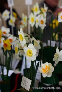 2016 Daffodil Shows and Competitions Cut Flowers, Yellow Flowers, Flowers For Valentines Day, Plant Labels, Different Plants, Daffodils, Beautiful Gardens, Competition, Pumpkin