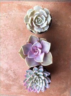 Trio of succulents with touches of purple