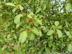 Kruszyna pospolita Fruit, Plants, Plant, Planets