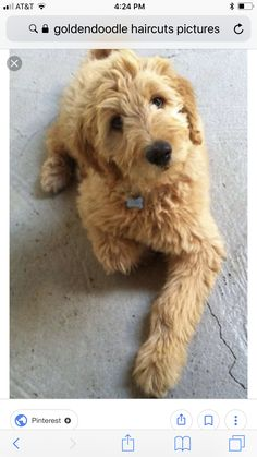 poodle dog haircuts maggie the goldendoodle goldendoodles amp dogs i 5481 | 1c03c36a52420d1e08f771d5925f5481