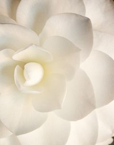 white-flower ~gardenia