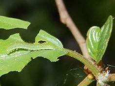 Rupsen zitten vaak langs de nerf van het blad en zijn dan moeilijk te vinden