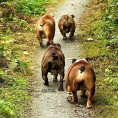The major breeds of bulldogs are English bulldog, American bulldog, and French bulldog. The bulldog has a broad shoulder which matches with the head. Bulldog Pics, Bulldog Puppies, Cute Puppies, Cute Dogs, Dogs And Puppies, Doggies, Bulldog Breeds, Chihuahua Dogs, British Bulldog