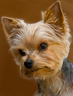 Teacup Yorkshire Terrier & Tiger Teacup Yorkshire Terrier photo & Franz and Renate & Source by marthamcmakin The post Teacup Yorkshire Terrier Yorky Terrier, Yorshire Terrier, Toy Yorkshire Terrier, Yorkshire Terrier Haircut, Cute Puppies, Cute Dogs, Baby Puppies, Sweet Dogs, Puppy Cut