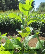 Carolina Allspice | Calycanthus floridus by GreenwoodNursery.com Strawberry Bush, Fast Growing Plants, Flowering Shrubs, Bloom, Amazing, Garden, Ideas, Flowering Bushes, Garten