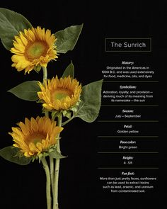 16 Sunflower Facts That Are So Sweet Sunrich Sunflower Facts Growing Sunflowers, Planting Sunflowers, Sunflowers And Daisies, Happy Flowers, Beautiful Flowers, Unusual Flowers, Sunflower Facts, Sunflower Garden, Flower Meanings