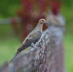 People Watching by ~Jetta Girl~, via Flickr http://1bestbirds.blogspot.com/2011/04/mourning-dove.html