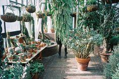 Cacti, terracotta pots, glasshouse