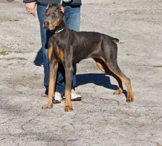 Adopt Roxie On My Future Pets Dogs Dog Crossbreeds