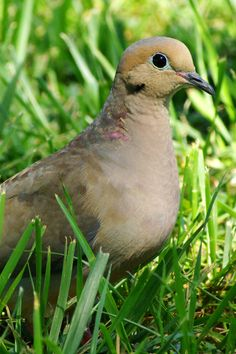Another great mourning dove photo Kinds Of Birds, Love Birds, Beautiful Birds, Beautiful Pictures, Duck Pens, Pet Birds, Birds 2, Dove Pigeon, Mourning Dove