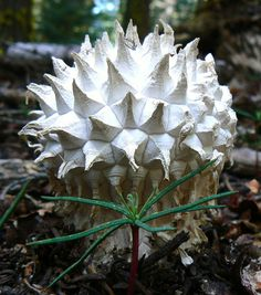 """Puffball fungus grows from 3.1"""" to 5.9"""" tall. Found in Mountains in N. America & some were found in sand dunes in Brazil"""