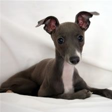 italian blue greyhounds....i would  call mine Violet