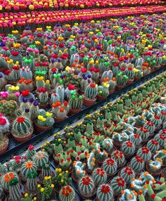 We all love succulents and cactus but do you know the difference between them? Click the post to learn on our website! Mini Cactus Garden, Cactus Farm, Succulent Gardening, Cactus Flower, Cacti And Succulents, Planting Succulents, Planting Flowers, Cactus Plante, Decoration Plante