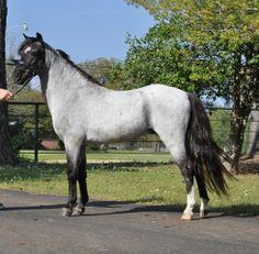ASPC (American Shetland Pony Club) 1998 blue roam stallion, Hopwoods Silver Rain, www.encoressecret.com
